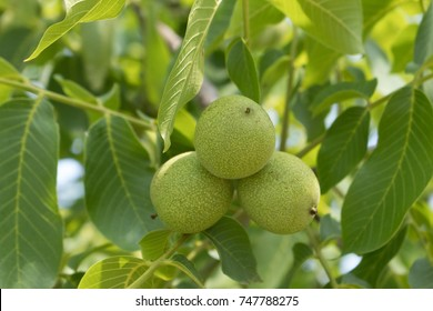 Black Walnut (Juglans nigra) tree with fruit close up photo. Three walnuts on branch