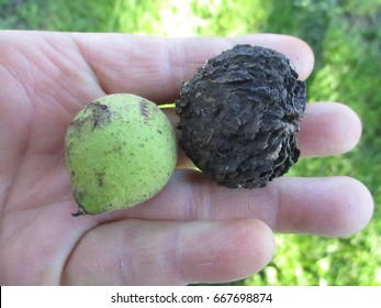 Black Walnut - New and Old