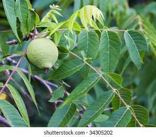 Black Walnut tree fruit.