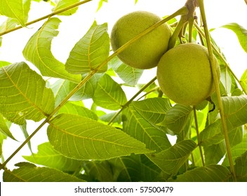 Black walnuts in tree isolated on white