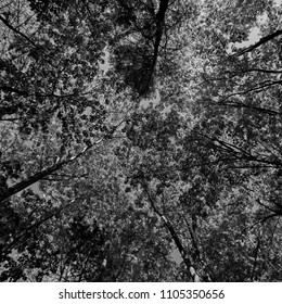 Black and white abstract view of trees as background and wallpaper