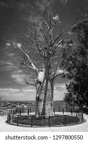 Black and White of Adansonia digitata alias Baobab tree without leafs in Kingspark in Perth