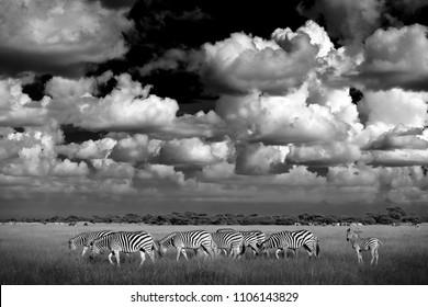 Black and white Africa. Zebras with dark storm sky. Burchell's zebra, Equus quagga burchellii, Nxai Pan National Park, Botswana, Africa. Wild animal on meadow. Wildlife nature, African safari.