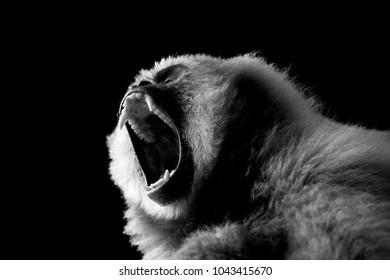 black and white aggressive monkey on a black background.