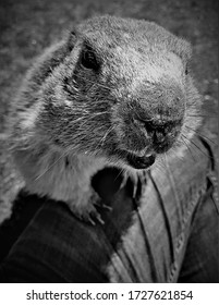 Black and White of an Alpine Marmot Climbing onto a Human Leg and Stretching his Nose into the Camera in Saas-Fee, Switzerland
