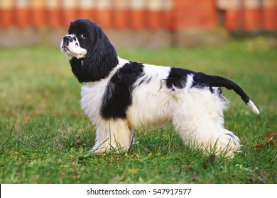 Black and white American Cocker Spaniel dog staying outdoors on a green grass in autumn