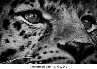 Black and White Amur Leopard