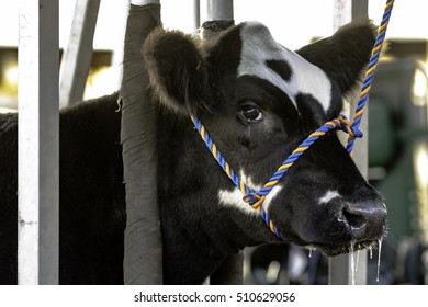 Black and white Angus crossbred heifer tied in a blocking chute