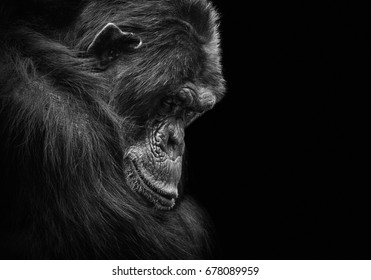 Black and white animal portrait of a sad and depressed chimp in captivity