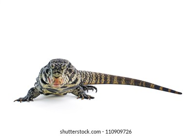 Black and White Argentine Tegu on a white background.