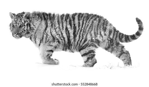 Black and white, artistic photo of Siberian tiger, Panthera tigris altaica, partly isolated on white background walking in deep snow. Animal fine art.