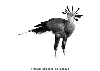 Black and white, artistic photo of terrestrial bird of prey, Sagittarius serpentarius, secretary bird with crown of black feathers, standing in grass of Kalahari. Auob river valley, Kgalagadi