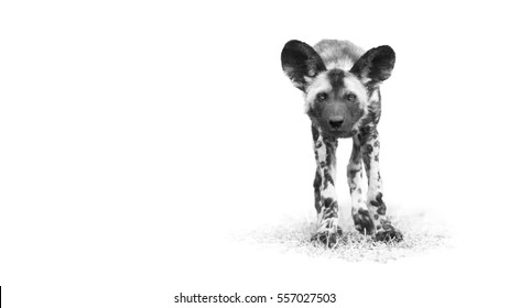 Black and white, artistic portrait of African Wild Dog, Lycaon pictus, puppy staring directly at camera in close up distance. Low angle photography. South Africa.