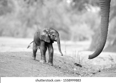 Black and white, artistic, touching picture of a fresh born African elephant calf, Loxodonta africana with mothers trunk. Tiny elephant baby and huge trunk. Mana Pools, Zimbabwe, Africa