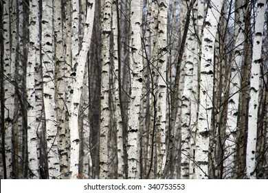 Black and white Aspen forest in the winter