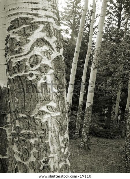 Black & White of Aspen  tree bark with damage.