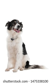 Black and white Australian Shepherd dog sitting isolated in white background  looking front view