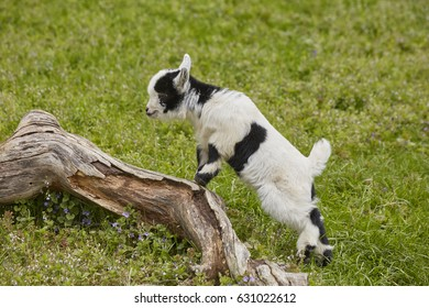 black and white baby goat in nature