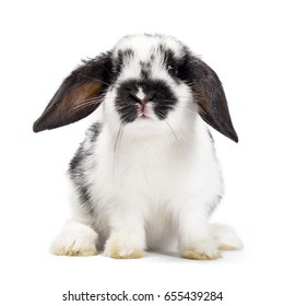 Black and white baby rabbit sitting up on white background
