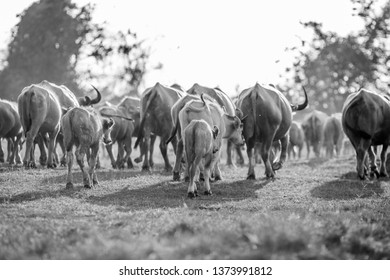 The black and white background of animals (buffalo herds) that walk, run in the fields, are blurred by movement, live together in groups and use for agriculture, rice farming in Thailand.