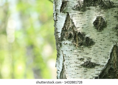 Black and white bark of Betula pendula, commonly known as silver birch, warty birch, European white birch, or East Asian white birch