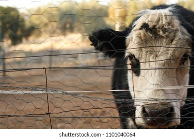Black and White Bawldy cow in a yard looking through a fence with no grass to eat because of drought in New South Wales, Rural Australia