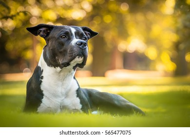 Black And White Beautiful Laying Male American Stafford Shire Terrier In The Autumn Park