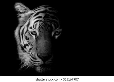 tiger eyes images stock photos vectors shutterstock