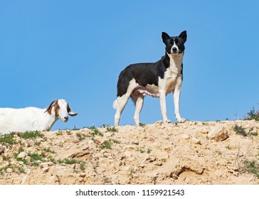 a black and white bedouin canaan dog stands guard over a flock of goats on a hilltop in the negev desert in israel