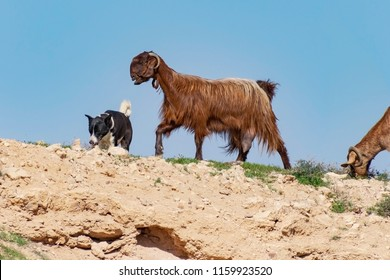 black and white bedouin canaan dog herding goats on a negev desert hilltop against a clear blue sky