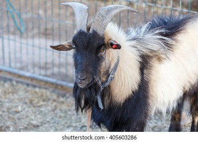 Black and white billy goat with big horn
