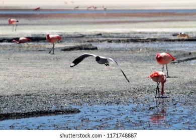 Black white bird, Laguna colorada, Bolivia