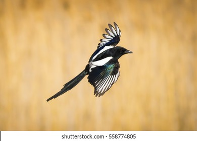 Black white bird Magpie flying Yellow dry grass background Eurasian Magpie / Pica pica