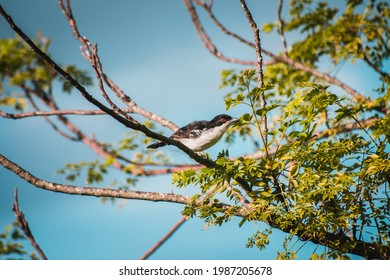 Black and white bird with red eyes (Taraba major, chororo) standing on a tree branch with green leaves.