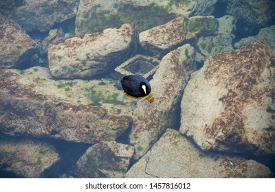 Black with white bird swimming in clean water. Duck feeding in the clean lake
