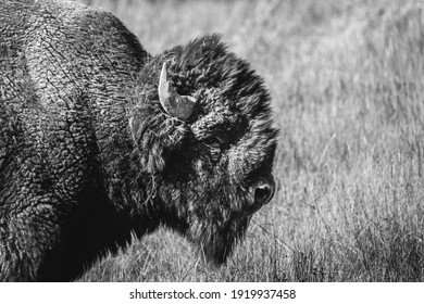black and white bison in yellowstone