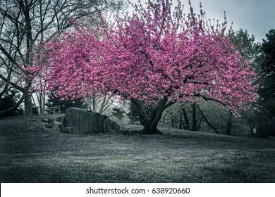 Black and White Blooming Sakura in New York Central Park