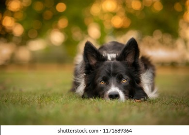 Black and White Border Collie Dog Lying on Cut Grass with Sunset Behind Through Trees