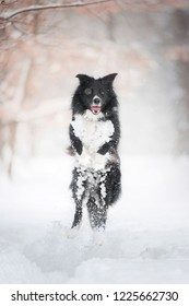 black and white border collie dog jumping up high in snow