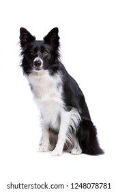 Black and white border collie dog In front of a white background