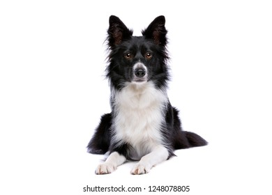 Black and white border collie dog Lying down in front of a white background