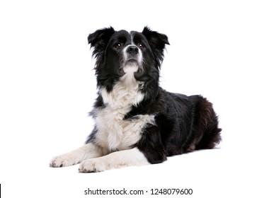 Black and white border collie dog Lying in front of a white background