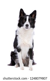 Black and white border collie dog Sitting in front of a white background