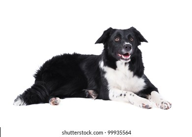 Black and white border collie isolared on white