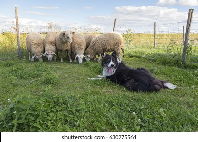 A black and white border collie looks back with tongue hanging out while sheep huddle next to a wire fence in farm field