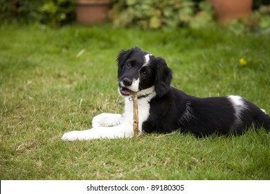 A black and white border collie puppy dog laid down on grass chewing a stick and looking at the camera.