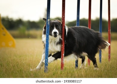 Black and white border collie is running on czech agility competition slalom. Prague agility competition in dog park Pesopark.