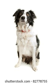 black and white border collie sheepdog on a white background