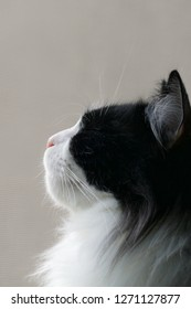 Black and white British long hair cat sitting beside window