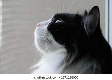 Black and white British long hair cat sitting beside window